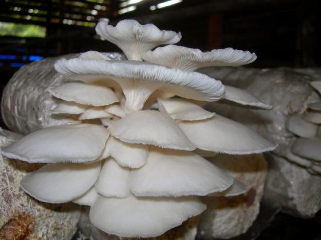 Hasil gambar untuk budidaya jamur tiram